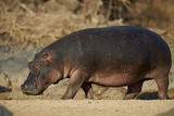 Hippopotamus (Hippopotamus Amphibius) Out of the Water Photographic Print by James Hager