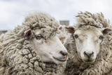 Sheep Waiting to Be Shorn at Long Island Sheep Farms, Outside Stanley, Falkland Islands Fotografisk tryk af Michael Nolan