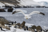Adult Kelp Gull (Larus Dominicanus) in Flight at Brown Bluff, Antarctic Sound, Antarctica Photographic Print by Michael Nolan