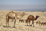 Camels Near the Dead Sea, Jordan, Middle East Photographic Print by Richard Maschmeyer