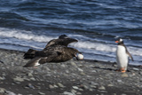 An Adult Brown Skua (Stercorarius Spp) Photographic Print by Michael Nolan