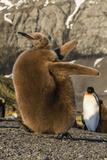 King Penguin Chick (Aptenodytes Patagonicus), Ecstatic Display in Gold Harbor, South Georgia Photographic Print by Michael Nolan