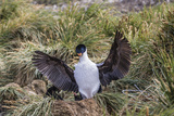 Adult Imperial Shag (Phalacrocorax Atriceps) Landing at Nest Site on New Island, Falkland Islands Photographic Print by Michael Nolan