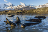 Southern Elephant Seal Pups (Mirounga Leonina), in Melt Water Pond, St. Andrews Bay, South Georgia Photographic Print by Michael Nolan