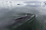 A Curious Antarctic Minke Whale (Balaenoptera Bonaerensis) Photographic Print by Michael Nolan