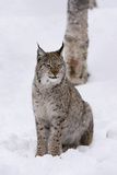 European Lynx (Lynx Lynx), Polar Park, Norway, Troms, Norway, Scandinavia Photographic Print by Sergio Pitamitz