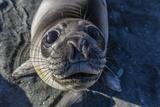 Curious Southern Elephant Seal Pup (Mirounga Leonina), Gold Harbor, South Georgia, Polar Regions Reprodukcja zdjęcia autor Michael Nolan