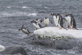 Gentoo Penguins Returning to Sea from Breeding Colony at Port Lockroy, Antarctica Photographic Print by Michael Nolan