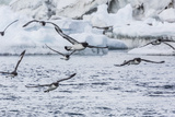 Adult Cape Petrels (Daption Capense) Feeding at Brown Bluff, Antarctica, Polar Regions Photographic Print by Michael Nolan