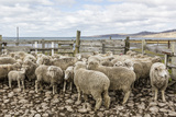 Sheep Waiting to Be Shorn at Long Island Sheep Farms, Outside Stanley, Falkland Islands Photographic Print by Michael Nolan