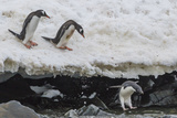 Gentoo Penguins (Pygoscelis Papua) Leaping into the Sea with Adelie Penguin at Booth Island Photographic Print by Michael Nolan
