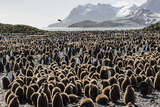 Adult and Juvenile King Penguins (Aptenodytes Patagonicus) Photographic Print by Michael Nolan