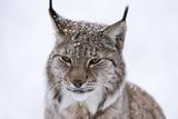 European Lynx (Lynx Lynx), Polar Park, Troms, Norway, Scandinavia Fotoprint van Sergio Pitamitz