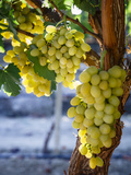 Yadid Levy - Grapes in San Joaquin Valley, California, United States of America, North America Fotografická reprodukce