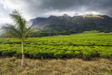 Tea Estate on Mount Mulanje, Malawi, Africa Photographic Print by Michael Runkel