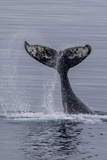Humpback Whale (Megaptera Novaeangliae) Surface Display, Tail Throw, Useful Island, Antarctica Photographic Print by Michael Nolan
