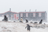 Gentoo Penguin (Pygoscelis Papua) Breeding Colony in Snow Storm at Port Lockroy, Antarctica Photographic Print by Michael Nolan