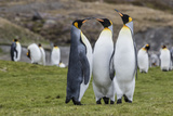 Adult King Penguins (Aptenodytes Patagonicus) at Breeding Colony at Fortuna Bay, South Georgia Photographic Print by Michael Nolan