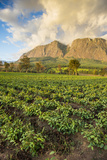 Tea Estate on Mount Mulanje at Sunset, Malawi, Africa Fotografisk tryk af Michael Runkel