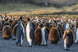 King Penguins (Aptenodytes Patagonicus) in Early Morning Light at Gold Harbor, South Georgia Photographic Print by Michael Nolan