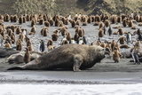 Southern Elephant Seal Bulls (Mirounga Leonina) Charging on the Beach in Gold Harbor, South Georgia Photographic Print by Michael Nolan