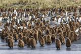 Adult King Penguins and Okum Boy Chicks (Aptenodytes Patagonicus) Heading to Sea in Gold Harbor Photographic Print by Michael Nolan