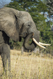 African Bush Elephant (Loxodonta Africana), Liwonde National Park, Malawi, Africa Photographic Print by Michael Runkel
