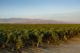 Vineyards in San Joaquin Valley, California, United States of America, North America Photographic Print by Yadid Levy