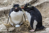 Adult Rockhopper Penguins (Eudyptes Chrysocome) at Nesting Site on New Island, Falkland Islands Photographic Print by Michael Nolan