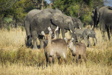 Waterbucks (Kobus Ellipsiprymnus) and African Bush Elephants (Loxodonta Africana) Photographic Print by Michael Runkel