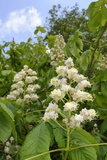 Horse Chestnut (Aesculus Hippocastanum) Flower Candelabras, Wiltshire, England, United Kingdom Photographic Print by Nick Upton