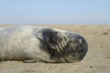 Grey Seal Pup (Halichoerus Grypus) Chewing a Flipper While Lying on a Sandy Beach Photographic Print by Nick Upton