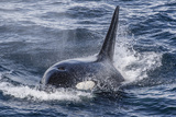 Adult Bull Type a Killer Whale (Orcinus Orca) Surfacing in the Gerlache Strait, Antarctica Photographic Print by Michael Nolan
