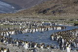 King Penguin (Aptenodytes Patagonicus) Breeding Colony at St. Andrews Bay, South Georgia Photographic Print by Michael Nolan