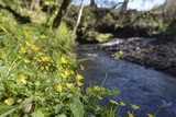 Lesser Celandines (Ranunculus Ficaria) Flowering on a Stream Bank in Woodland Photographic Print by Nick Upton