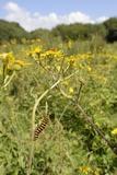 Cinnabar Moth Caterpillars (Tyria Jacobaeae) Feeding on Ragwort Plants (Senecio Jacobaea) Photographic Print by Nick Upton