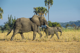 African Bush Elephant (Loxodonta Africana) Mother with Calf, Liwonde National Park, Malawi, Africa Photographic Print by Michael Runkel