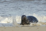 Grey Seal (Halichoerus Grypus) Adult Hauling Ashore Among Breaking Waves Photographic Print by Nick Upton