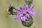 Hoverfly (Volucella Bombylans Var. Plumata) Visiting a Greater Knapweed Flower (Centaurea Scabiosa) Photographic Print by Nick Upton
