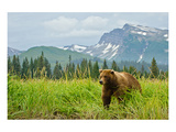 Coastal Brown Bear & Mountains Posters