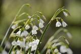 Summer Snowflake (Loddon Lily (Leucojum Aestivum) Flowering in Damp Riverside Woodland Photographic Print by Nick Upton