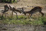 Impala (Aepyceros Melampus) Fighting in the Liwonde National Park, Malawi, Africa Photographic Print by Michael Runkel
