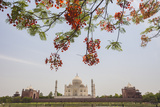 Branches of a Flowering Tree with Red Flowers Frame the Taj Mahal Symbol of Islam in India Photographic Print by Roberto Moiola