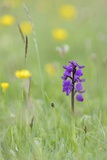 Green-Winged Orchid (Orchis) (Anacamptis Morio) Flowering in a Hay Meadow Photographic Print by Nick Upton