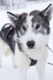 Husky Dog, Longyearbyen, Spitsbergen, Svalbard, Arctic Circle, Norway, Scandinavia Photographic Print by Stephen Studd