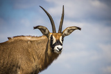 Roan Antelope (Hippotragus Equinus), Nyika National Park, Malawi, Africa Photographic Print by Michael Runkel