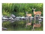 Deer Doe Creekside & Her Fawn Prints