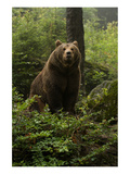 Brown Bear on a Wooded Hill Print
