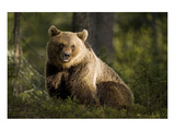 Brown Bear in the Forest Art