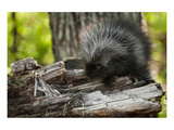Baby Porcupine on a Tree Stump Prints